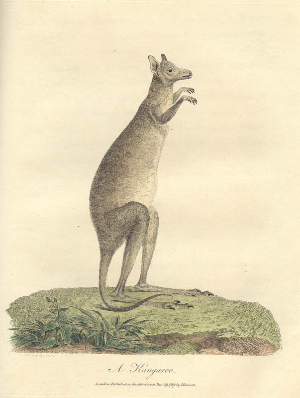 Early drawing of kangaroo