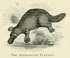 The Duck-billed Platypus